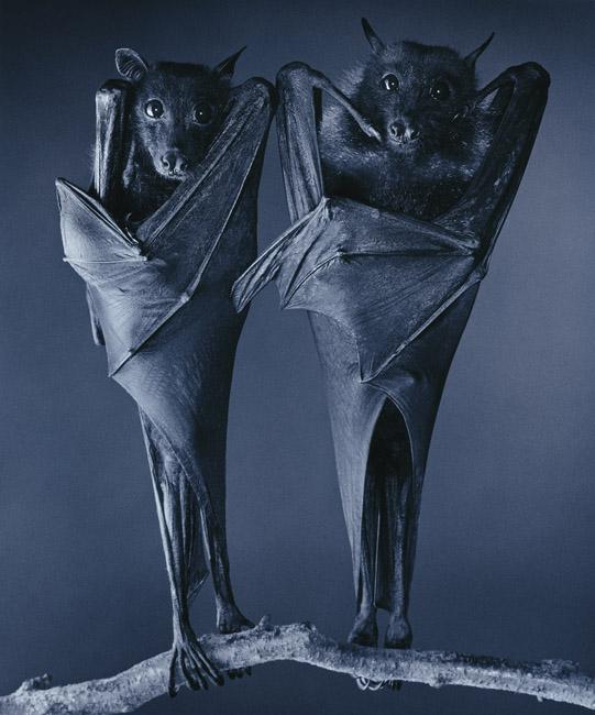 Egyptian Bats