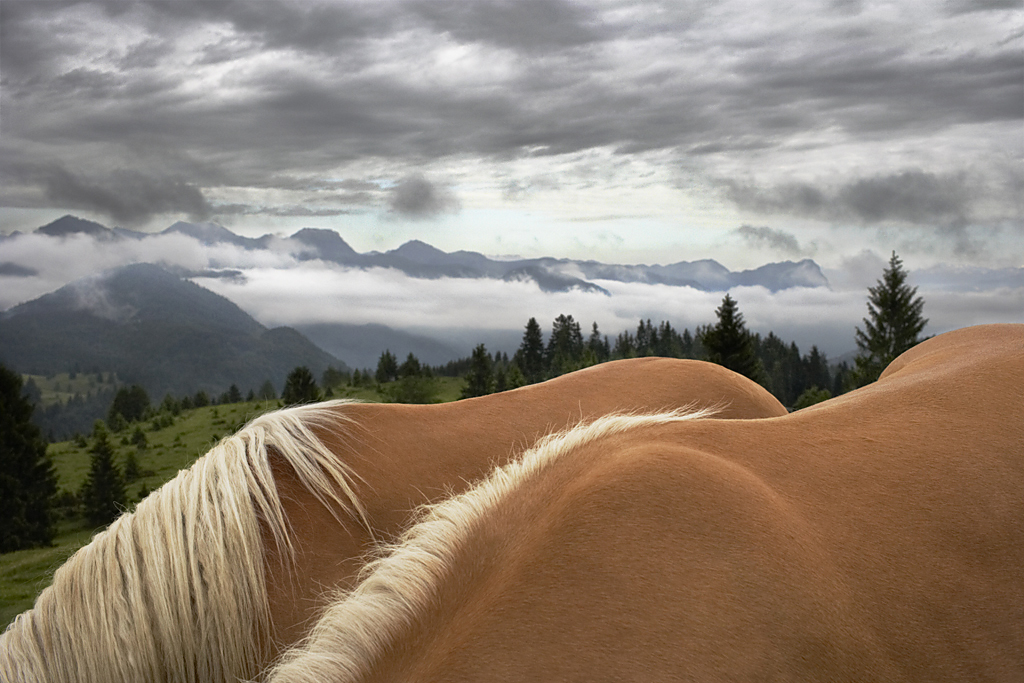 Haflinger Landscape