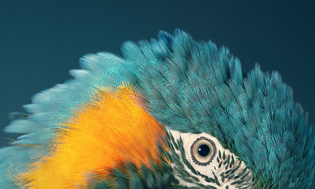 Blue Throated Macaw Close up