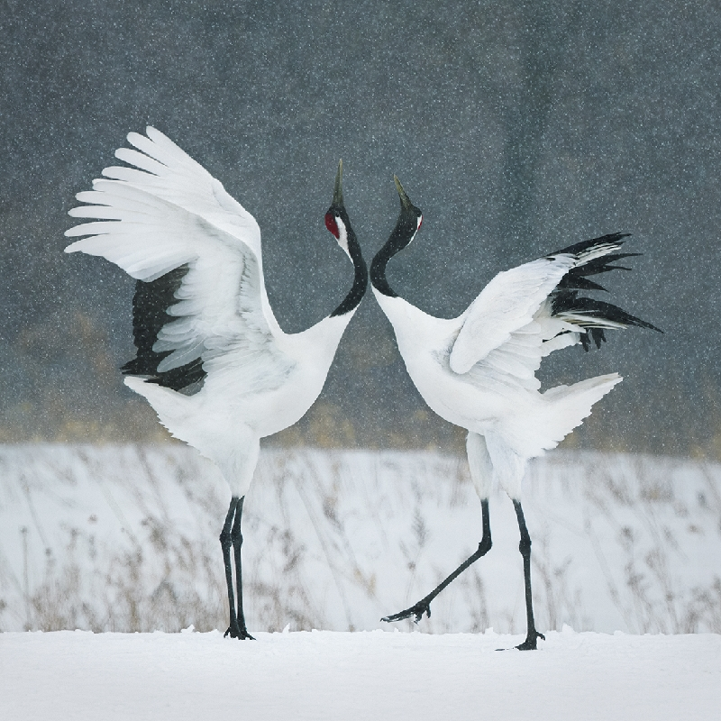 Red Crown Cranes Courting